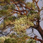 Pine thumbnail