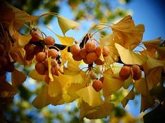 Ginko with fruits (libra1054) Tags: ginko blätter leaves feuilles hojas foglie folhas fruits frutti frutas früchte yellow giallo gelb jaune amarillo amarelo outdoor