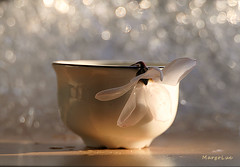 White Flower's Delicacy ... (MargoLuc) Tags: white flower cup pottery petals silky natural light window backlight bokeh sunlight winter shadows lovely delicate stilllife table droplets