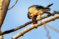 American Kestrel (jwfuqua-photography) Tags: americankestrel nature jwfuquaphotography peacevalleynaturecenter jerrywfuqua birdsofprey birds buckscountyparks buckscounty pennsylvania