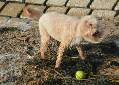 Stanley (Stuart Axe) Tags: stanley cockerpoo dog pet poodle doggy puppy doggie pets stan uk england unitedkingdom gb greatbritain blackwaterestuary riverblackwaterestuary goldhanger seawall goldhangercreek ralphandstanley