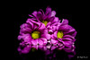 Pink  margerytka (Magda Banach) Tags: canon canon80d sigma150mmf28apomacrodghsm blackbackground colors flora flowers macro margerytka nature pink plant plants reflection