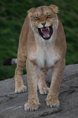 Dalila @ Wildlands Adventure Zoo Emmen 08-04-2017 (Maxime de Boer) Tags: dalila african lion lioness afrikaanse leeuw leeuwin panthera leo big cats katachtigen wildlands adventure zoo emmen animals dieren dierentuin dierenpark gods creation schepping creator schepper genesis