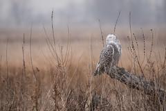 Solitude (NicoleW0000) Tags: snowyowl owl wildowl birdofprey birdwatching wildlife nature outdoor photography grassyfield mist fog atmosphere calm tranquil morning foggyday