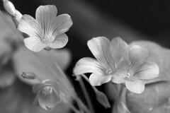 Minuscules fleurs de Trèfle du jardin (Christian Chene Tahiti) Tags: macromondays flower trèfle canon 6d tahiti macrolens monochrome hmm paea flore fleur jardin flores macro nature closer fleurdetrèfle fleurdepolynésie floredepolynésie floredetahiti fleurdesîles fleurdetahiti polynésie polynésiefrançaise frenchpolynesia pf extérieur plante