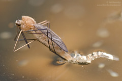 Emerging mosquito (Anopheles sp.) (Jan Hamrsky) Tags: invertebrates freshwaterinvertebrates insects aquaticinsects waterinsects macrophotography mosquitoes larvae pupae emergingmosquito diptera culicidae anopheles