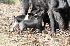 Feral Pig(Sow) & Piglets (Sus srofa) (Gerald (Wayne) Prout) Tags: feralpig sussrofa animalia chordata mammalia artiodactyla suidae sus srofa razorback sow piglet circlebbarreserve cityoflakeland polkcounty florida usa prout geraldwayneprout canon canoneos60d eos 60d digital camera photographed photography captured feral pig mammals swine wildlife animals nature circleb bar reserve city lakeland polk county stateofflorida trails marshrabbitruntrail walking hiking biking