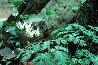Dicentra cucullaria - Papaveraceae