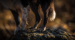 Legs of purpose (JJFET) Tags: border collie dog sheepdog