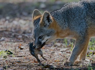 Feeding Grey Fox