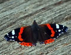 Admiral (anubishubi) Tags: makro insekt schmetterling butterfly admiral vanessaatalanta falter edelfalter tagfalter nikond60
