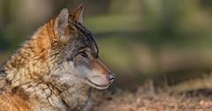Wolf (pe_ha45) Tags: wolf loup canislupus lobo lupo