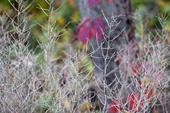 Dry racemes, garlic mustard (ophis) Tags: brassicales brassicaceae alliaria alliariapetiolata garlicmustard