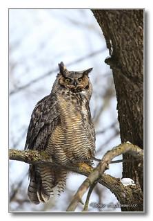 1E1A3326-DL   Grand-duc d'Amérique / Great Horned Owl.