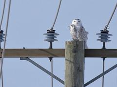 Snowy Owl ♀ - Harfang des neiges ♀ - Bubo scandiacus (D72_8807-1PE-20180213) (Michel Sansfacon) Tags: harfangdesneiges snowyowl buboscandiacus nikond7200 sigma150600mmsports
