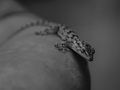 Lagartija (Est3ban.T) Tags: grayscale monochromatic macro animal reptil nature wild wildlife lizard cute nikon d3300 reflex dslr lightroom