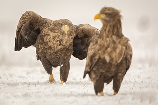 White-tailed eagle / Zeearend