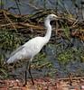 Snowy Egret (Rachel Pennington) Tags: snowyegret birding kansas cheyennebottoms wetland wetlands greatplains