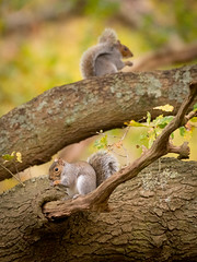 Neighbours (Rob Blight) Tags: squirrel grey greysquirrel graysquirrel wild wildlife nature mammal rodent green forest tree trees outdoors d850 nikond850 200500 200500mm cute fluffy eating feeding branch branches animal richmondpark