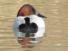 Canvasback, Male #2 (beautyinature4me) Tags: bird avian canvasback water male pagesprings arizona december2016