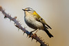 088.jpg (Kico Lopez) Tags: miño lugo aves rio reyezuelolistado birds regulusignicapilla galicia spain
