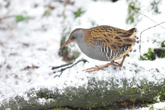 Water rail - short and fat