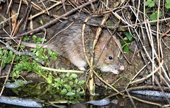 Tails of the riverbank. (pstone646) Tags: rat rodent feeding closeup nature animal water wildlife kent stour ashford fauna tail river riverbank