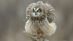 Bokeh Beautie (photosauraus rex) Tags: owl shortearedowl bird