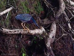 Green Heron (Alan R. Boyce) Tags: greenheron bird
