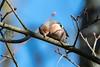 Chaffinch  -  Buckfink ♂︎ (CJH Natural) Tags: chaffinch buckfink ♂︎ bird vogel avian nature wildlife tree bluesky sleep nap preen preening cleaning telephoto branch plumage bill beak fink finch