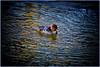 Hooded Merganser (Astral Will) Tags: bird duck merganser hoodedmerganser vignette ice altered hss sliderssunday water topaz