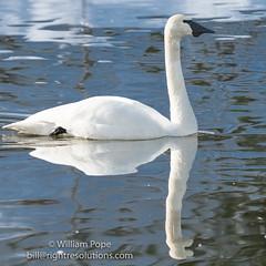 BHP08103 (GabriolaBill) Tags: swan swans bird birds nelder pond gabriola island gabriolaisland bc british columbia canada salish sea salishsea nature wildlife birdlife water sony a7r2 a7rii a7rm2 a7rmii 100400mm gm gmaster
