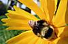 Asleep in a flower (TJ Gehling) Tags: insect hymenoptera bee apidae bumblebee yellowfacedbumblebee bombus bombusvosnesenskii flower ohlonegreenway elcerrito