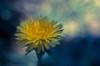 Beautiful weed (www.higbyphotography.com) Tags: flower bokeh spring blooming macro yellow weed