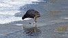 a coot searching for water on a frozen lake. (Franck Zumella) Tags: coot water eau glace lake lac winter hiver temperature animal wildlife vie suavage bird oiseau black noir poule moorhen ice sony a7s