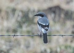 Loggerhead Shrike (Lanius ludovicianus) (fugle) Tags: shrike loggerheadshrike washoeco nevada pyramidlake