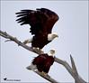 THE PAIR (Aspenbreeze) Tags: baldeagle eagle eagles bird wildbird wildeagle wildlife avian nationalemblem nature rural sky tree bevzuerlein aspenbreeze moonandbackphotography