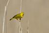 YellowWarblerBrownBkgd1 (2) (Rich Mayer Photography) Tags: bird birds avian nature wild life wildlife yellow warbler warblers nikon