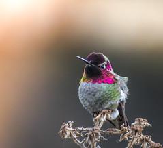 Reliable. (Omygodtom) Tags: wild wildlife bird annashummingbird hummingbird contrast colours existinglight art abstract animalplanet animal tamron usgs ngs ngc nikkor nikon70300mmvrlens nikon nature dof d7100 bokeh red portrait