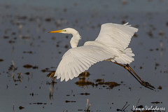 Garça-branca-grande, Great White Egret (Egretta alba) (Vasco VALADARES) Tags: garçabrancagrande greatwhiteegret egrettaalba birds bird wing wings feather feathers nature wildlife naturephotography aves ave canon
