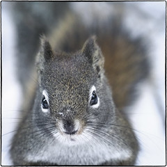 Deep Woods Squirrel (geelog) Tags: alberta bebogrove calgary fishcreekprovincialpark ab canada squirrel