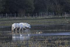 Chevaux marins dans la vallée de la Rançon (xav.vergon) Tags: animaux cheval hiver larançon pointaf réglageaf12 saintwandrillerançon sortieornitho xaviervergon