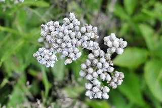 A Walk After The BBQ 33 - Common Yarrow (Achillea millefolium)