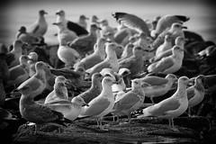 Gulls (mattbpics) Tags: canon 70d tamron 150600 150600mm gull longbeach stratford nature wildlife shore