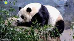 2018_01-26o (gkoo19681) Tags: meixiang beautifulmama sopretty proudmama adorableears fuzzywuzzy resting naptime comfy perfection relaxing amazing meltinghearts contentment ccncby nationalzoo