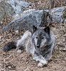 Wolves_Feb172018_0310 (Roni Chastain Photography) Tags: wolf wolfconservationcenter wolves standforwolves wildlife wildanimal captive