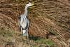 Standing. (stonefaction) Tags: grey heron birds nature wildlife murton reserve forfar angus scotland