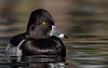 Ring-necked Duck (gilamonster8) Tags: green ringnecked duck bird quality arizona wing water white waterbird explore explored eyes eos ef400mm56l desert color canon common flickrelite flight view tucson gray blue bokeh beyondbokeh beak black ngc 7dmarkii park pond lake