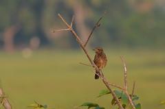 Pied Bush Chat (TKCliks) Tags: bushchat tkcliks birdwatching chennaibirds siruthavur wildlife nature animals wings