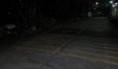 in the caution zone (the foreign photographer - ฝรั่งถ่) Tags: black snake crossing road caution zone our street bangkhen bankok thailand canon early morning